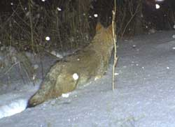 Coyote walking away in deep snow