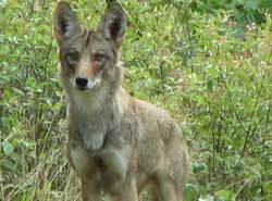 Coyote standing in tall grass facing the camera