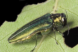 Emerald Ash Borer Beetle on leaf