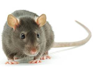 Rodent Prevention And Control